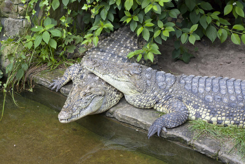 Twee krokodillen in liefde royalty-vrije stock afbeelding