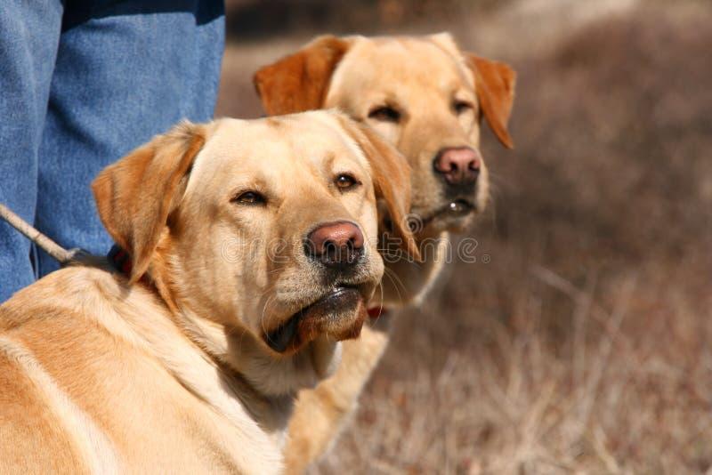 Twee Labrador honden met rode neckpiece stock fotografie