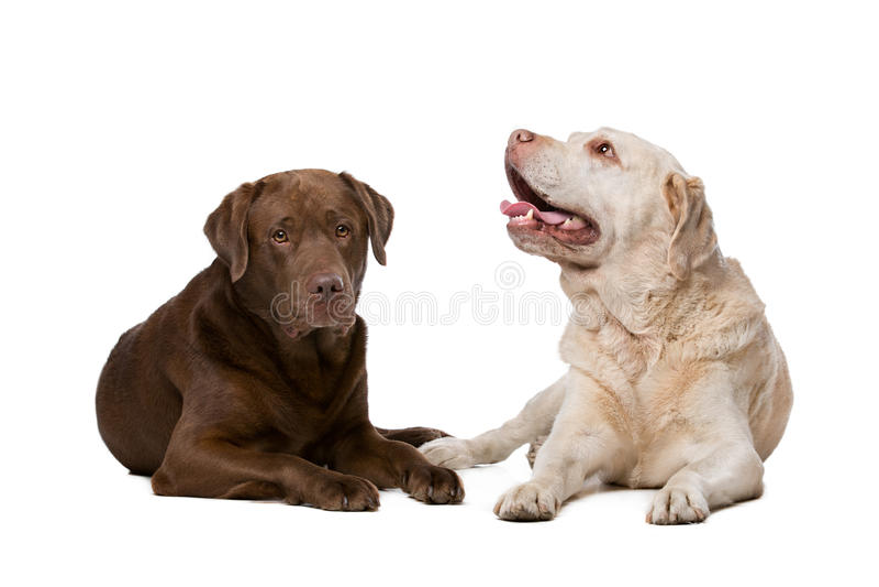 Twee Labradors stock foto