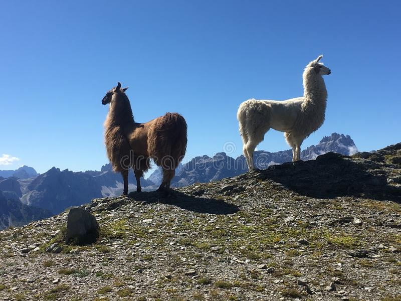 Twee lama's uit Zuid-Tirol stock afbeelding
