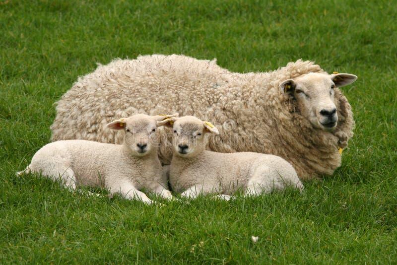 Twee lammeren en moederschapen stock afbeeldingen