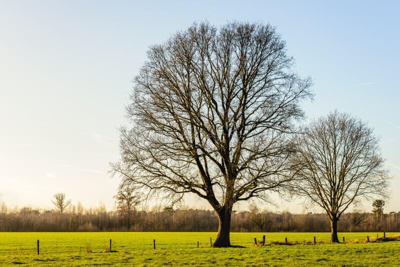 Twee lange en leafless bomen in een vlak landelijk landschap royalty-vrije stock foto
