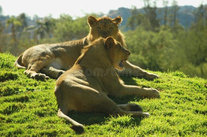 Twee Leeuwen stock fotografie