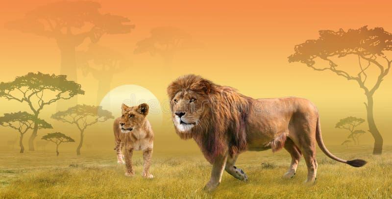 Twee leeuwen die in savanne in de ochtendzon jagen, collage royalty-vrije stock afbeelding