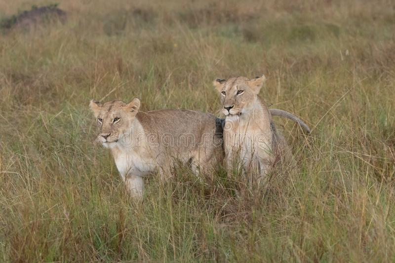 Twee leeuwen die in weiden op Masai Mara zitten, Kenia Afrika royalty-vrije stock afbeelding