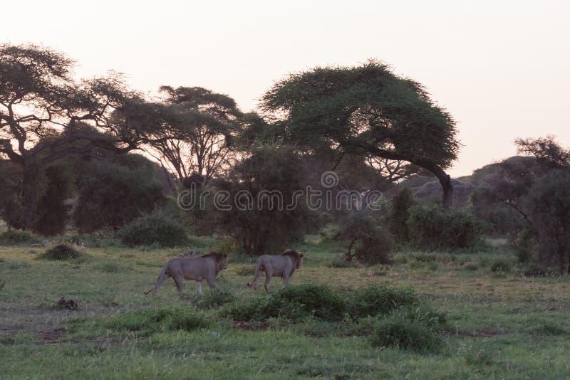 Twee leeuwen en twee broers gaan jagend Amboseli, Kenia royalty-vrije stock foto
