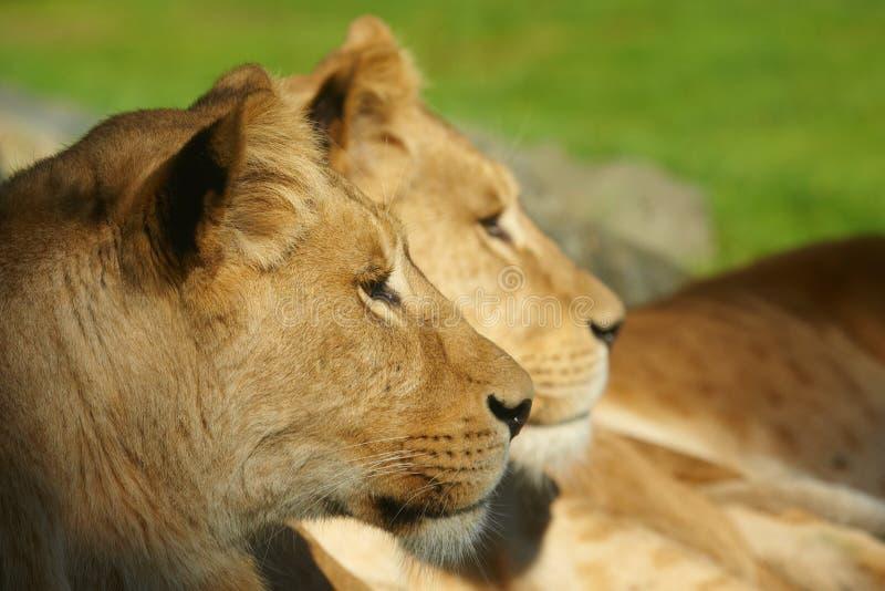 Twee leeuwen sluiten samen royalty-vrije stock fotografie