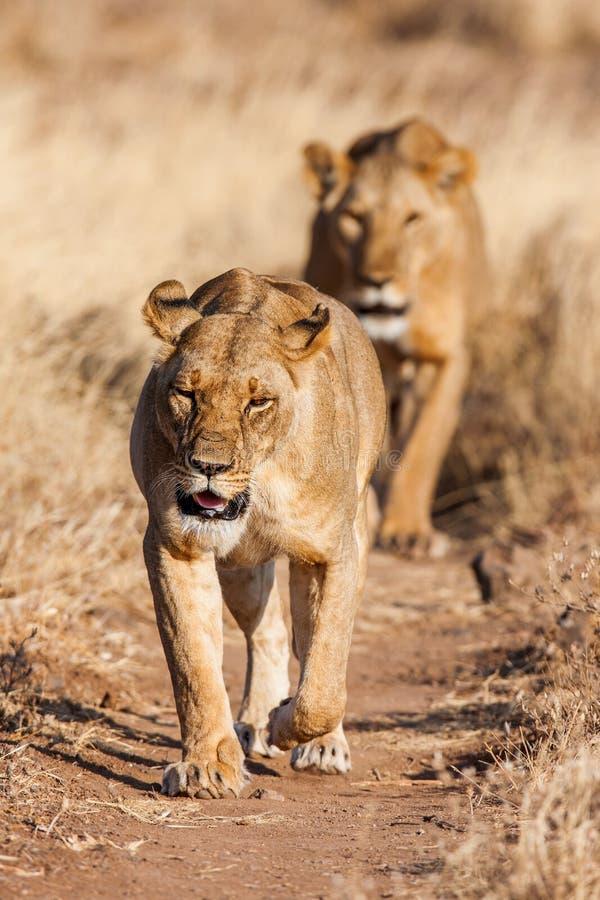 Twee leeuwinnenbenadering, die rechtstreeks naar de camera lopen royalty-vrije stock afbeeldingen