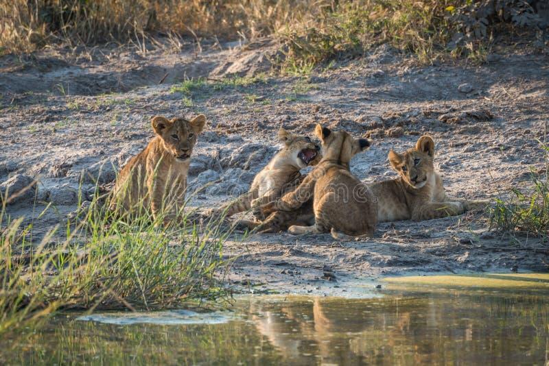 Twee leeuwwelpen die naast twee anderen spelen royalty-vrije stock foto