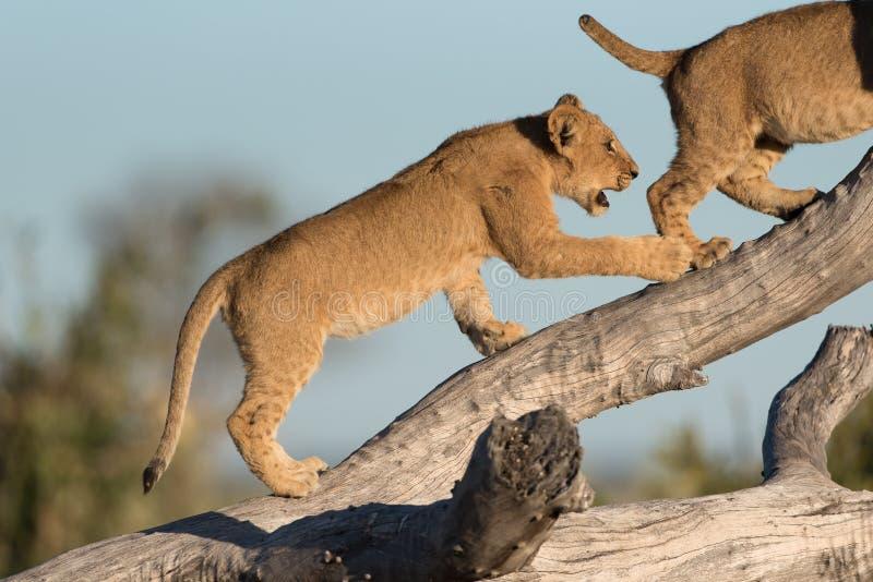 Twee leeuwwelpen die op een gevallen boom in Savute in evenwicht brengen royalty-vrije stock fotografie
