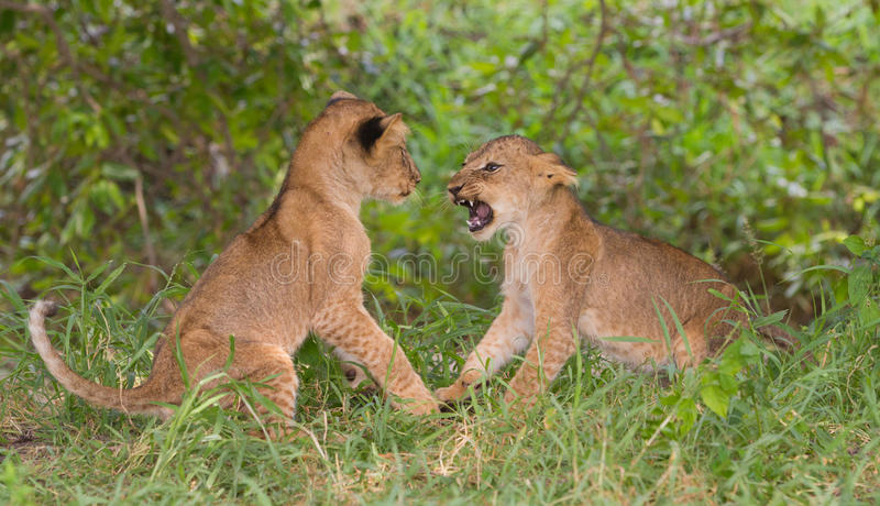 Twee leeuwwelpen & x28; Panthera leo& x29; het spelen royalty-vrije stock afbeeldingen