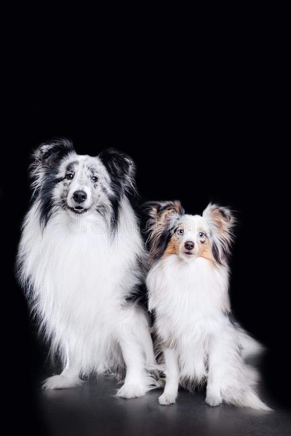 twee leuk sheltiehond en puppy op zwarte achtergrond stock fotografie