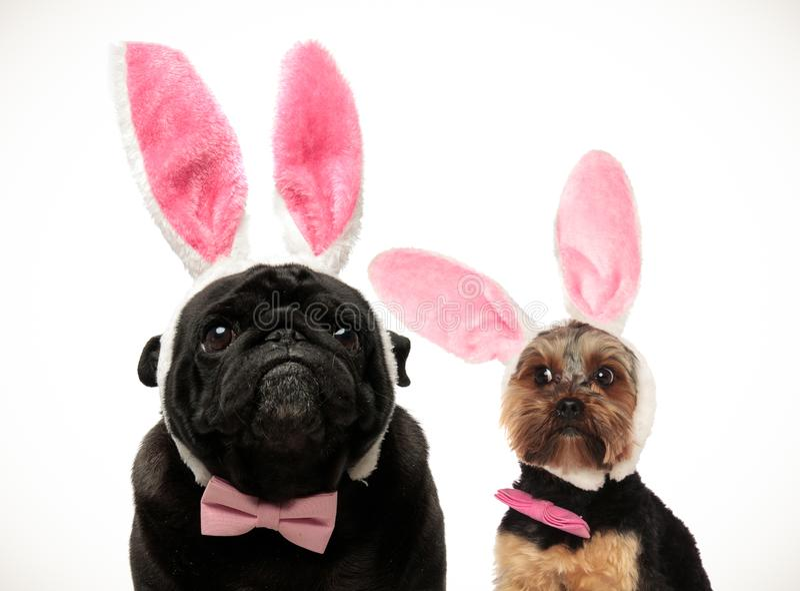 Twee leuk uitziende honden die Pasen-konijntjesoren dragen royalty-vrije stock afbeelding