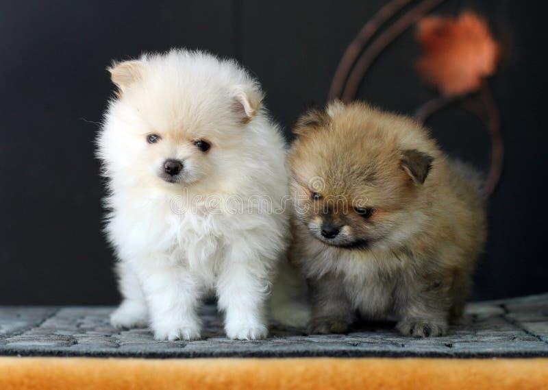 Twee leuke aanbiddelijke Pomeranian-puppy stock afbeeldingen