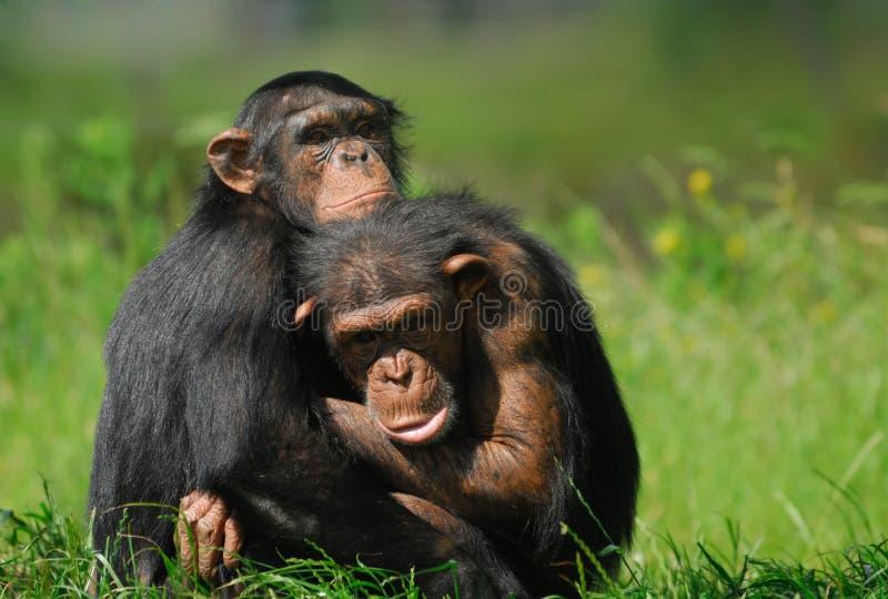 Twee leuke chimpansees stock afbeeldingen