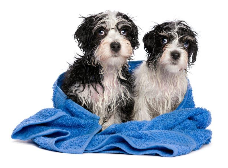 Twee leuke havanese puppy na bad zit op een blauwe handdoek stock foto's