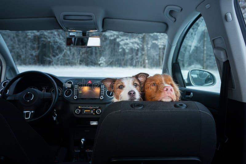 Twee leuke honden in de auto op de zetel zien eruit Een reis met een huisdier Nova Scotia Duck Tolling Retriever en Jack Russell  stock fotografie