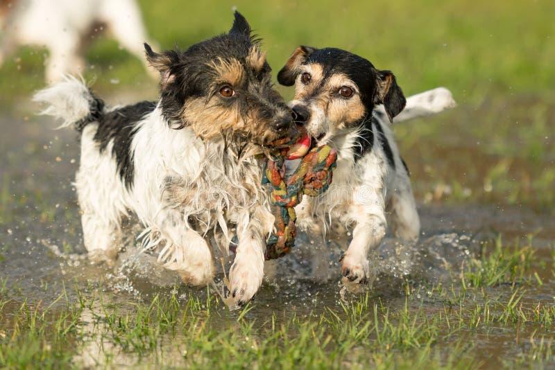 Twee leuke Jack Russell Terrier-honden die en met een bal in een watervulklei spelen vechten in de snowless winter royalty-vrije stock foto's