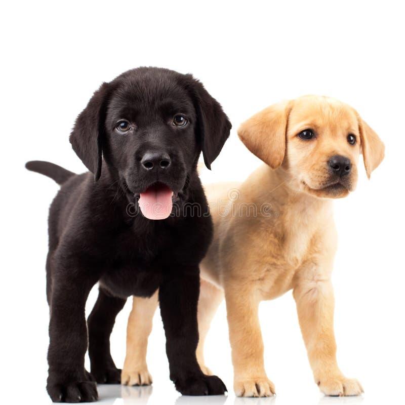 Twee leuke Labrador puppy stock afbeelding