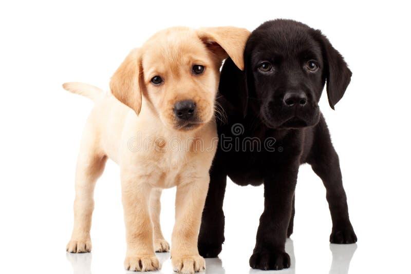 Twee leuke Labrador puppy royalty-vrije stock afbeeldingen