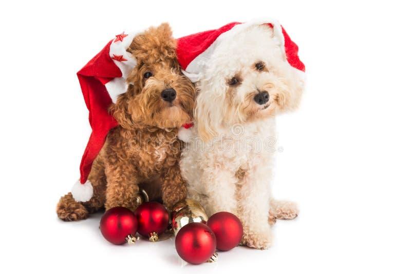 Twee leuke poedelpuppy in santakostuum met Kerstmisornament royalty-vrije stock afbeelding