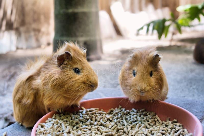 Twee leuke proefkonijnen hebben maaltijd stock afbeeldingen