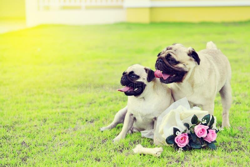 Twee leuke Pugs in tuin stock afbeelding