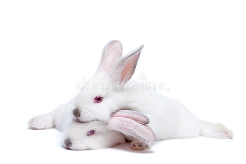 Twee leuke wit geïsoleerdee babykonijnen stock foto's