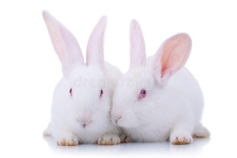 Twee leuke witte babykonijnen. stock afbeeldingen