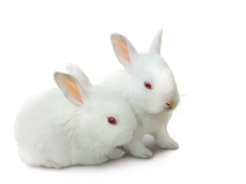 Twee leuke witte geïsoleerdei babykonijnen. stock foto
