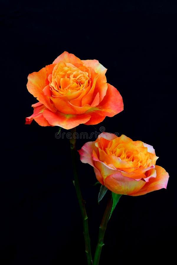 Twee levendige rozen van het caribisch gebied of van het caribisch gebied tegen zwarte achtergrond stock fotografie