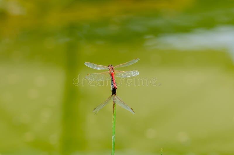 Twee Libellen die in de zomer koppelen stock foto