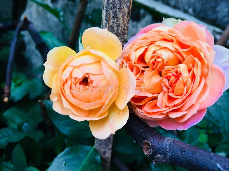 Twee lichtgeele multilayer rozen stock afbeeldingen