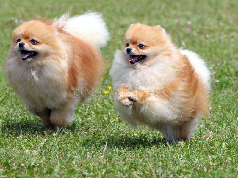 Twee lopende pomeranian honden royalty-vrije stock foto's