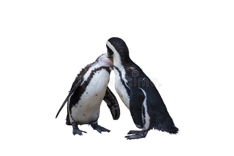 Twee Magellan Penguins order Sfenisciformes, familie Sfeniscidae, zijn een groep watervogels, zonder luchtdruk Geïsoleerd op wit stock foto