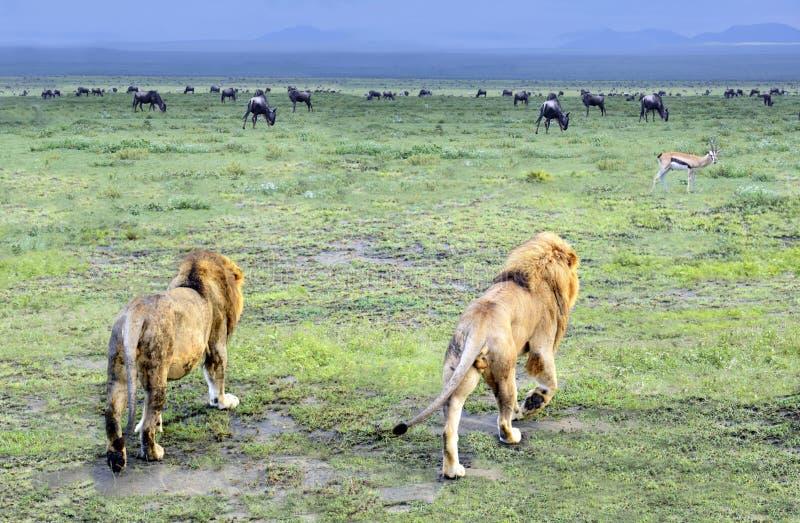 Twee mannelijke leeuwen die weg in Serengeti in Tanzania, Afrika lopen stock afbeeldingen
