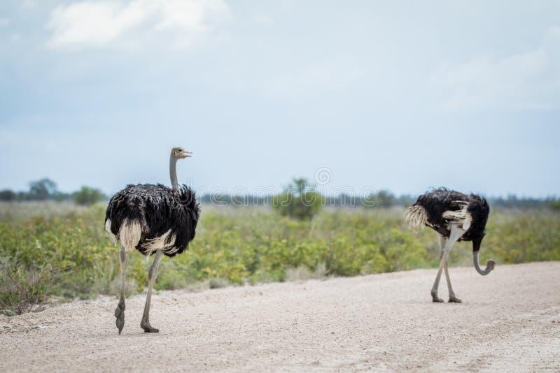 Twee mannelijke Struisvogels die op de weg lopen stock foto