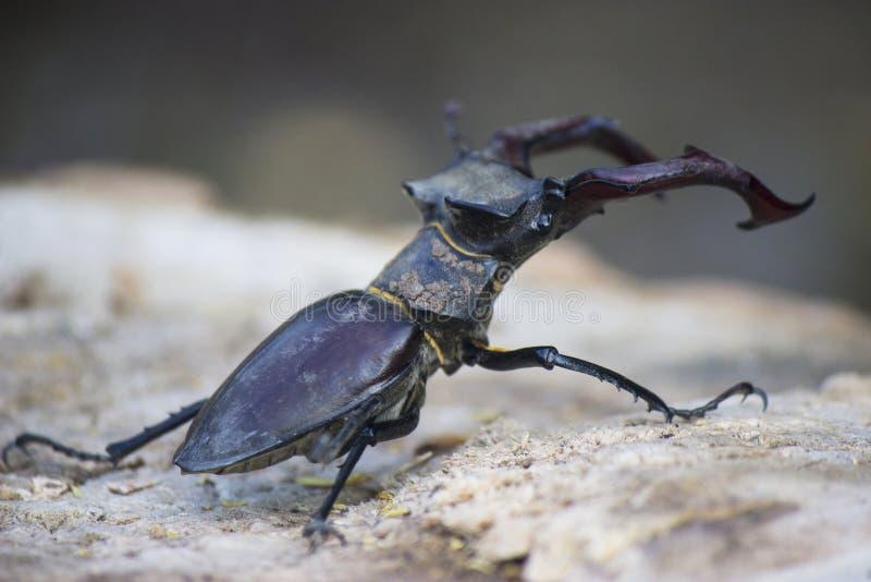 Twee mannetjeskevers stock foto's