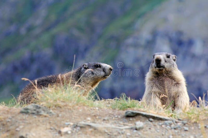 Twee marmotten stock afbeelding