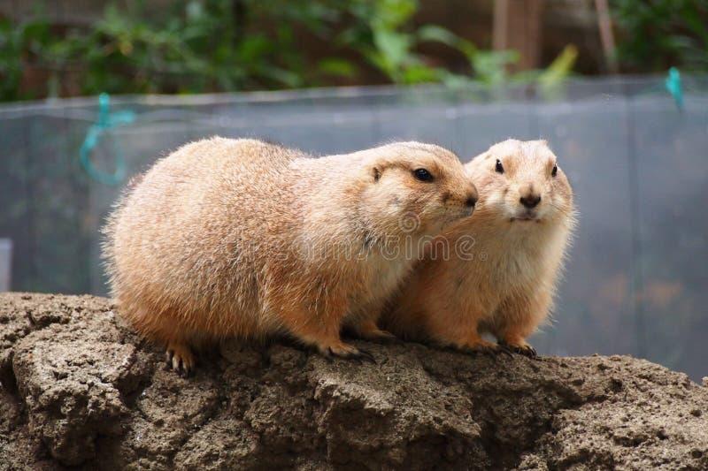 Twee marmotten stock foto's