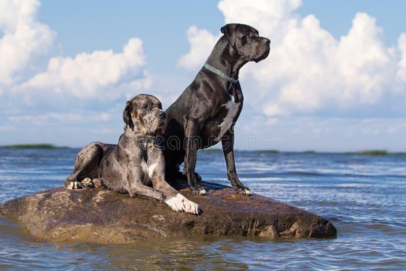 Twee mastiffhonden stock afbeelding