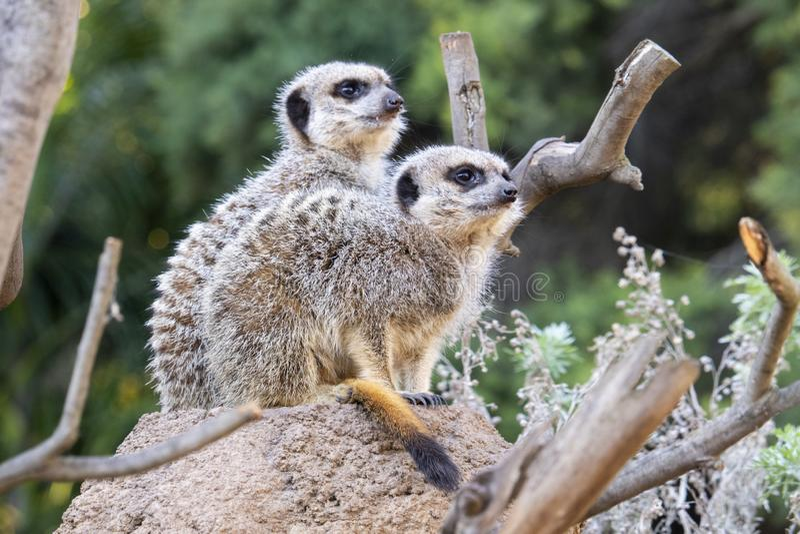 Twee meerkats die op een rots zitten stock afbeelding