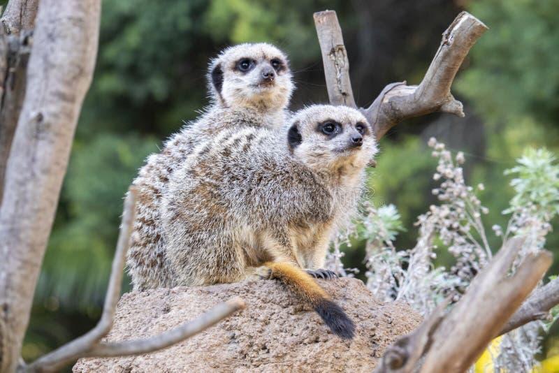 Twee meerkats die op een rots zitten stock foto's