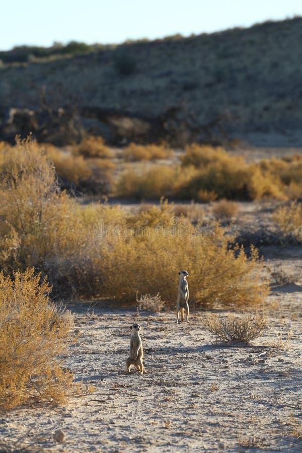 Twee meerkats in kgalagadi grensoverschrijdend park stock afbeeldingen