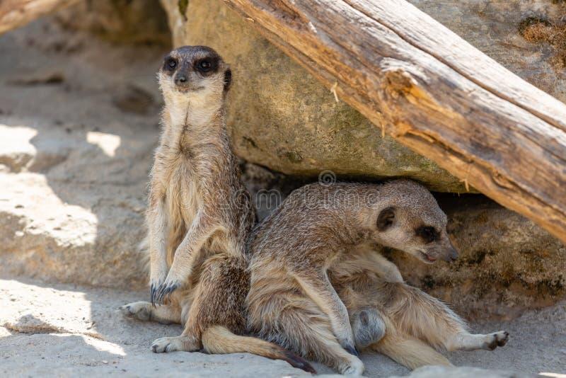 Twee Meerkats onder Rots wordt gezeten die stock afbeeldingen