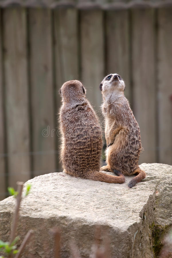 Twee meerkats op wacht royalty-vrije stock fotografie