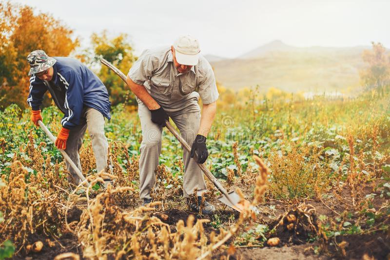 Twee mem gravende aardappels in de tuin royalty-vrije stock afbeeldingen