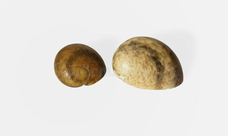 Twee meningen van bruine en beige zeeschelp op witte achtergrond isolat royalty-vrije stock foto's