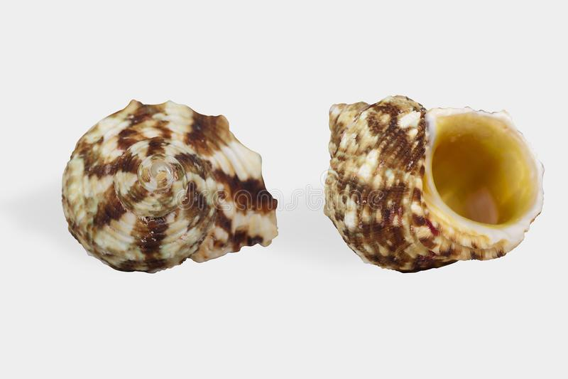 Twee meningen van een zeeschelp op witte die achtergrond met clippi wordt geïsoleerd stock afbeelding