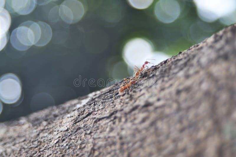 Twee mieren in de tak die zich op mieren concentreren stock foto